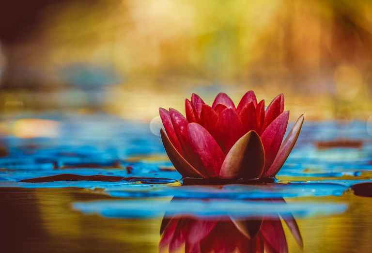 selective focus photography of red waterlily flower in bloom